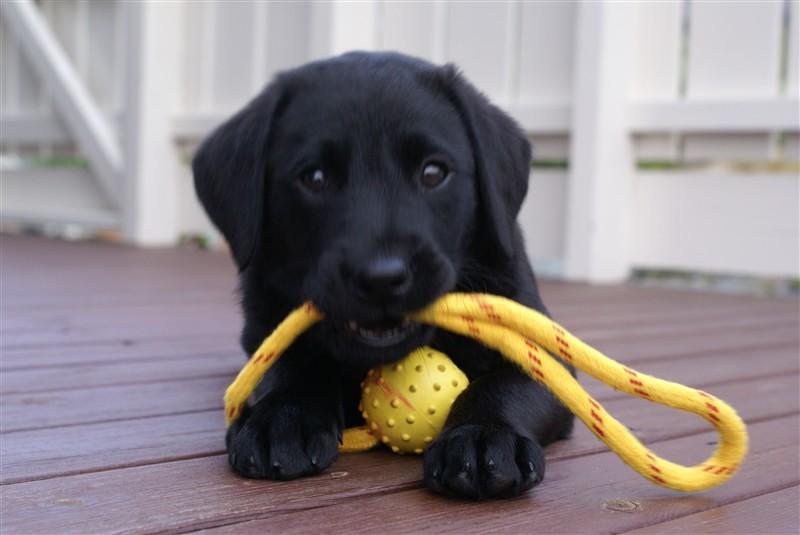 labrador retriever til salg